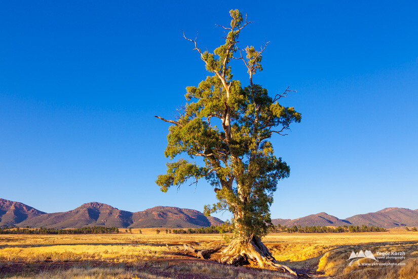 Cazneaux's Tree, Flinders Ranges, South Australia, Australia
