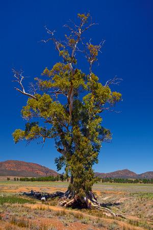 The Cazneaux Tree